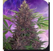 Semillas Buddha Purple Kush