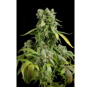 Semillas Blue Cheese Autoflowering